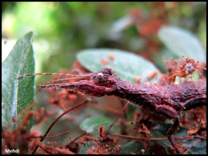 Jeune femelle Melophasma antillarum
