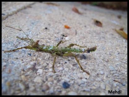 "Parectatosoma cf. hystrix ""Moramanga"" jeune femelle"