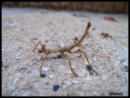 "Parectatosoma cf. hystrix ""Moramanga"" jeune mâle"