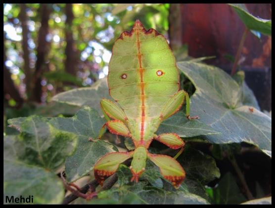 """Jeune femelle Phyllium tobeloense """"Galela"""""""