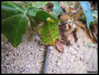 """Jeune femelle Phyllium tobeloense """"Galela"""" vue de dessous"""