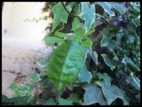"Femelle adulte Phyllium tobeloense ""Galela"" vue de dessous"