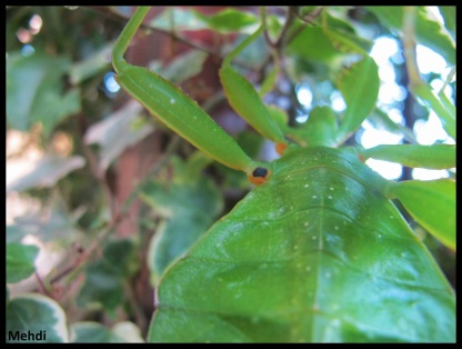 "Femelle adulte Phyllium tobeloense ""Galela"" détail coxae"