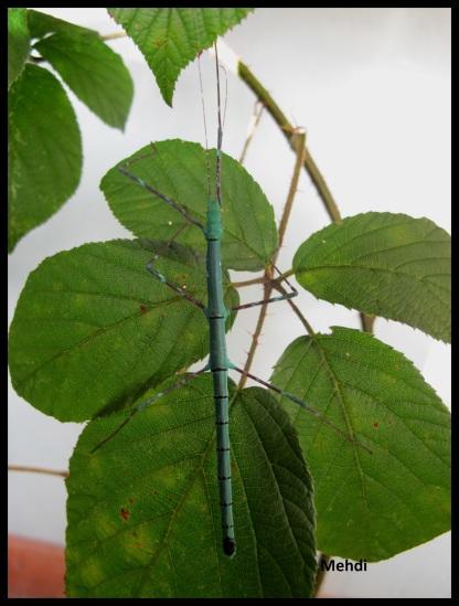 "Femelle sub-adulte bleue Myronides sp ""Peleng"""