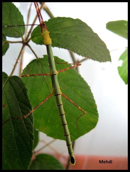 "Femelle sub-adulte verte Myronides sp ""Peleng"""