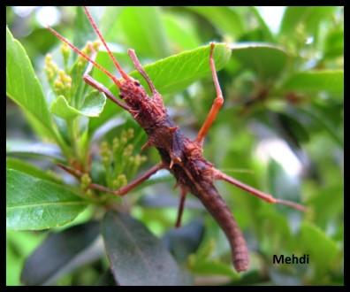 Jeune mâle Hoploclonia gecko
