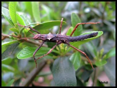 Jeune femelle Hoploclonia gecko