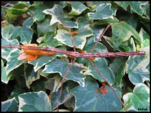 Femelle adulte Parapachymorpha zomproi