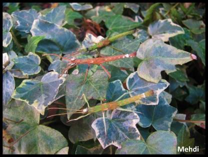 Mâles sub-adultes Creoxylus spinosus