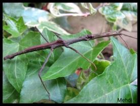 """Mâle adulte Dimorphodes sp """"Misool"""""""