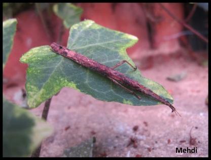 Jeune femelle Oxyartes lamellatus