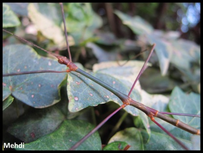 Mâle adulte Orxines xiphias
