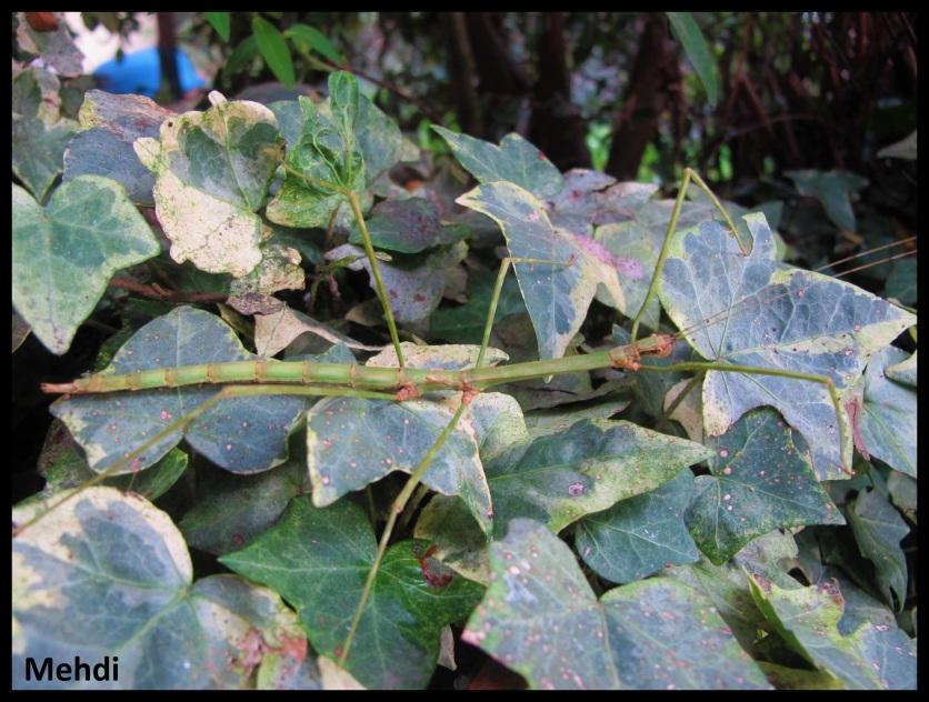 Femelle adulte Orxines xiphias