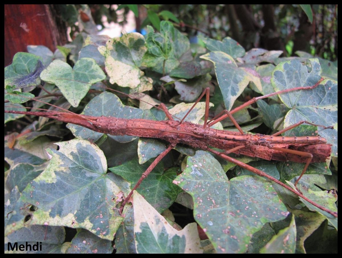 Oxyartes lamellatus P.S.G. N° 182(Vietnam)