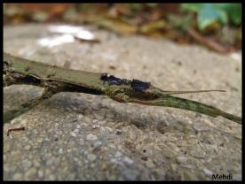 "Femelle adulte Dimorphodes sp ""Misool"""