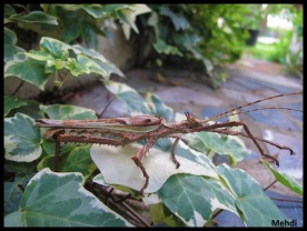 Mâle adulte Heteropteryx dilatata