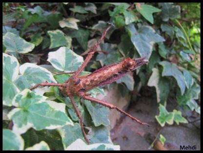 Mâle adulte Heteropteryx dilatata posture d'intimidation