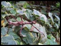 Mâle adulte Parectatosoma mocquerysi