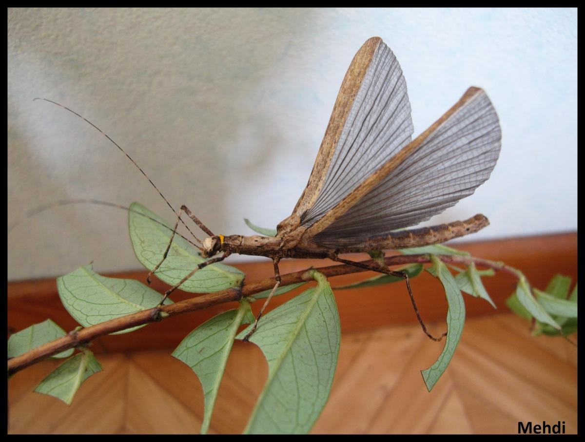 Calvisia (Calvisia) conicipennis «Mulu» (Sarawak,Bornéo)
