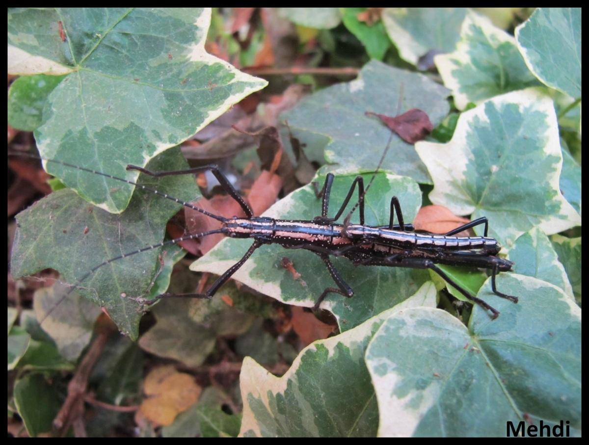 Anisomorpha buprestoides «Ocala» P.S.G. N° 12(USA)