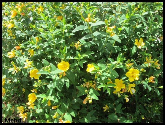 "Hypericum ""hidcote"" en fleurs"