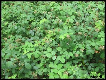 Rubus sp