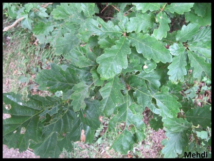 Quercus sp