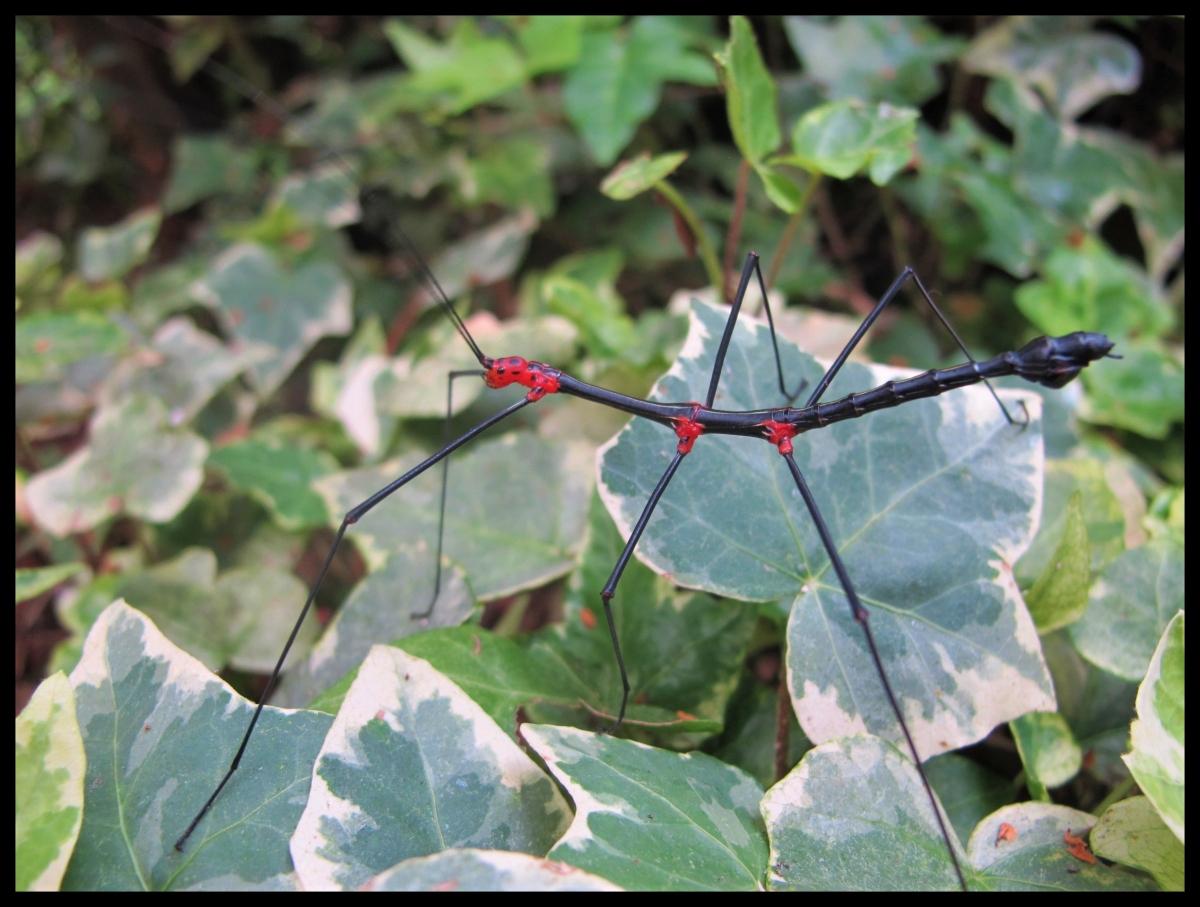 Oreophoetes topoense «Rio Topo» P.S.G. N°356