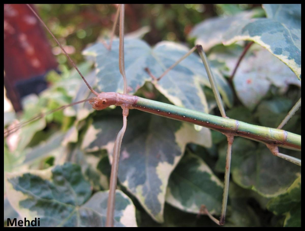 Lopaphus albopunctatus «Ba Vi»(Vietnam)