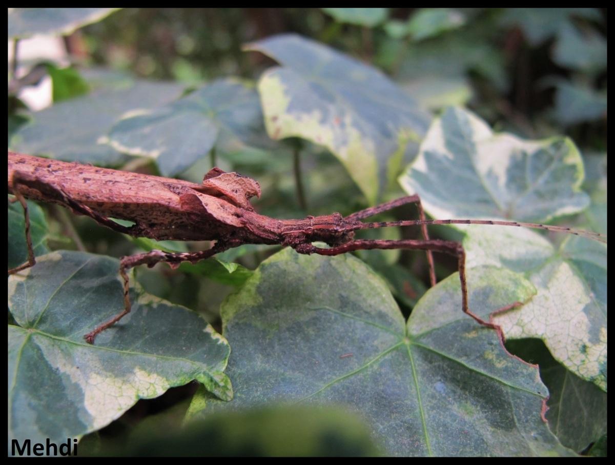 Pseudophasma lakini (Equateur)
