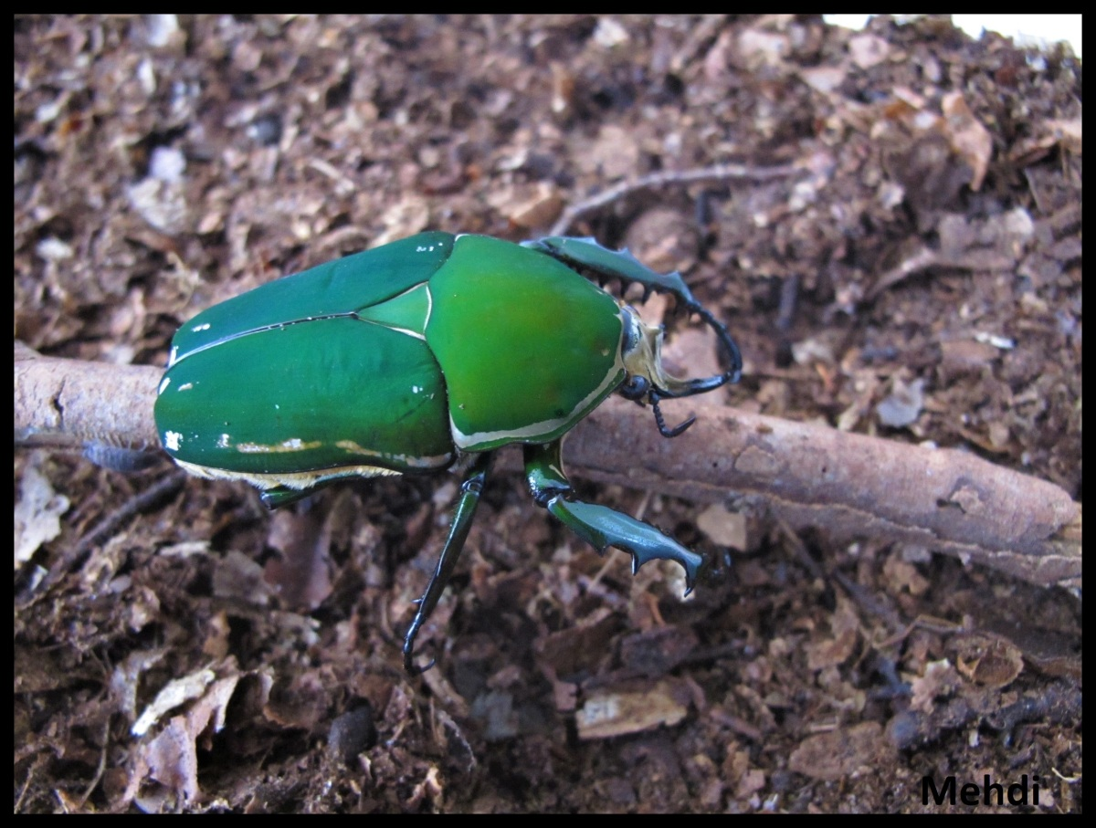 Mecynorrhina torquata immaculicollis (Afriquesub-saharienne)