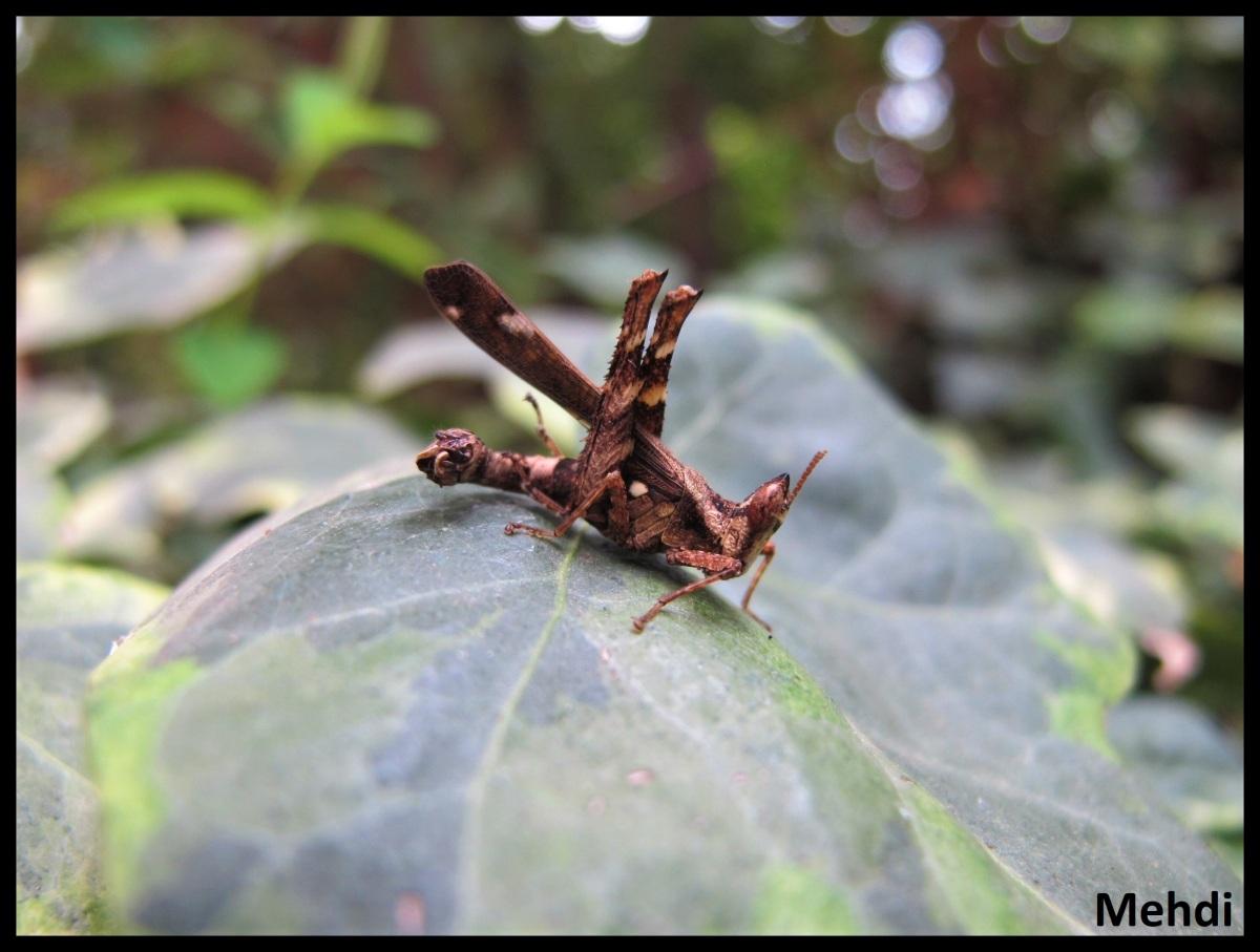 Erianthus sp (Malaisie)