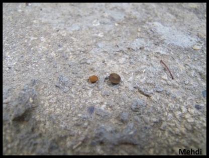 """Comparaison de taille entre un oeuf d'Orthomeria kangi """"Benguet"""" à gauche et Orthomeria pandora """"Tagumpay"""" à droite (ne pas tenir compte de la couleur de l'oeuf d'O.kangi, ce dernier étant vide la couleur est moins foncée)"""