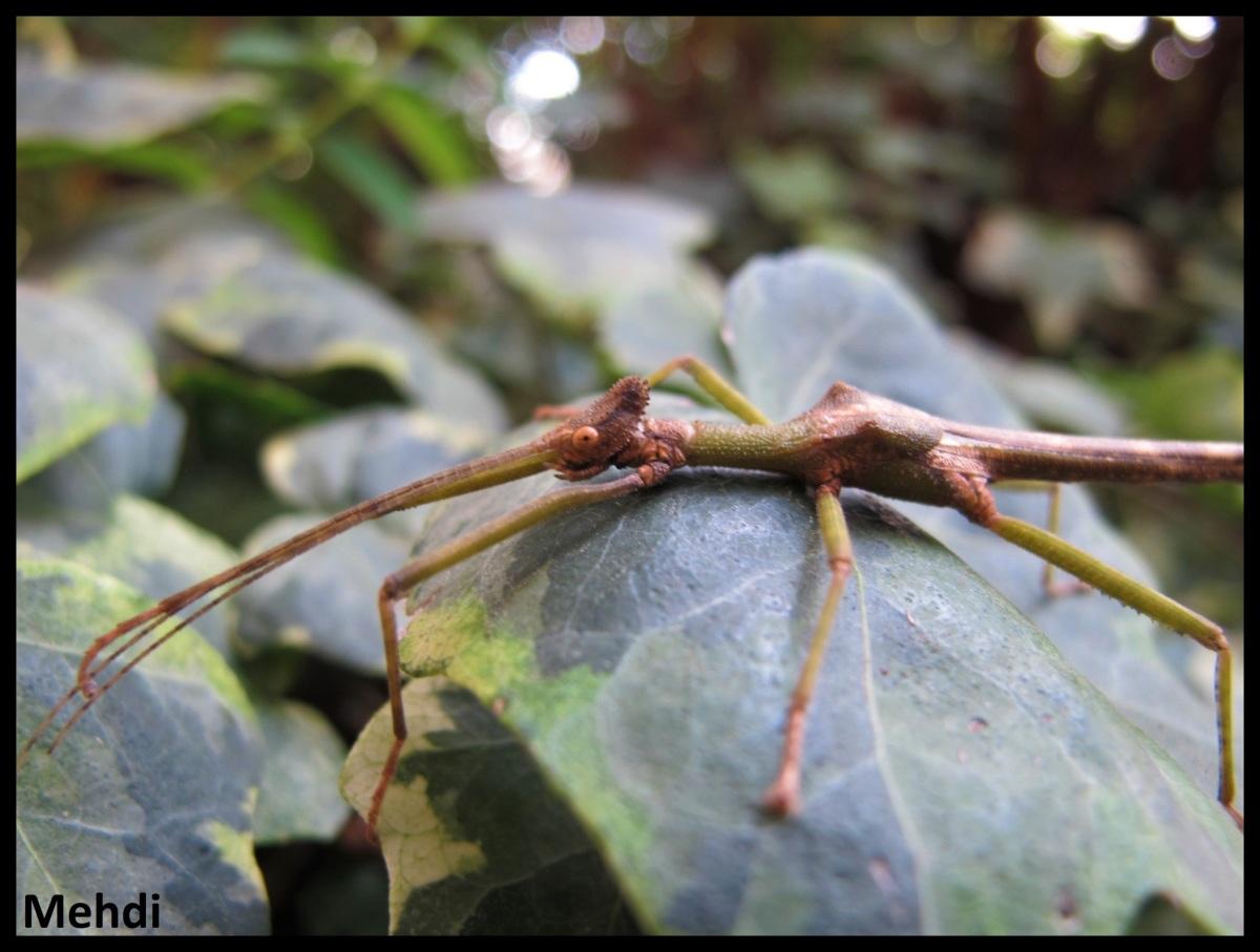 Loxopsis sp «Tawau» (Malaisie,Sabah)