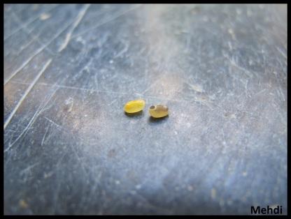 """Deux oeufs de Marmessoidea rosea """"Tapah Hills"""" de coloration différente"""