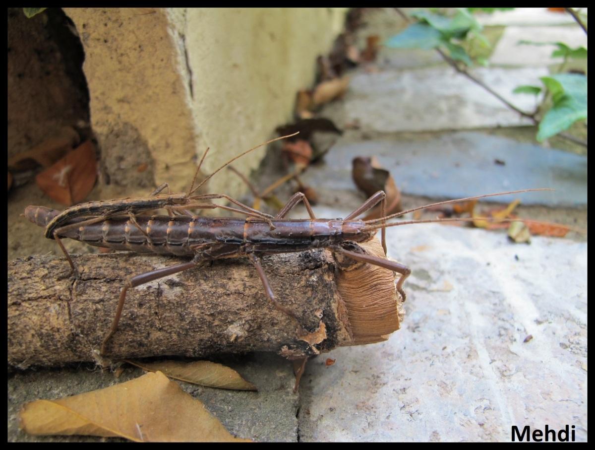 Anisomorpha ferruginae «Brazos County» P.S.G. N° 198(USA)