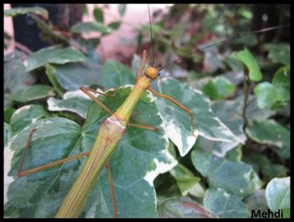 "Vieille femelle adulte Marmessoidea rosea ""Tapah Hills"""