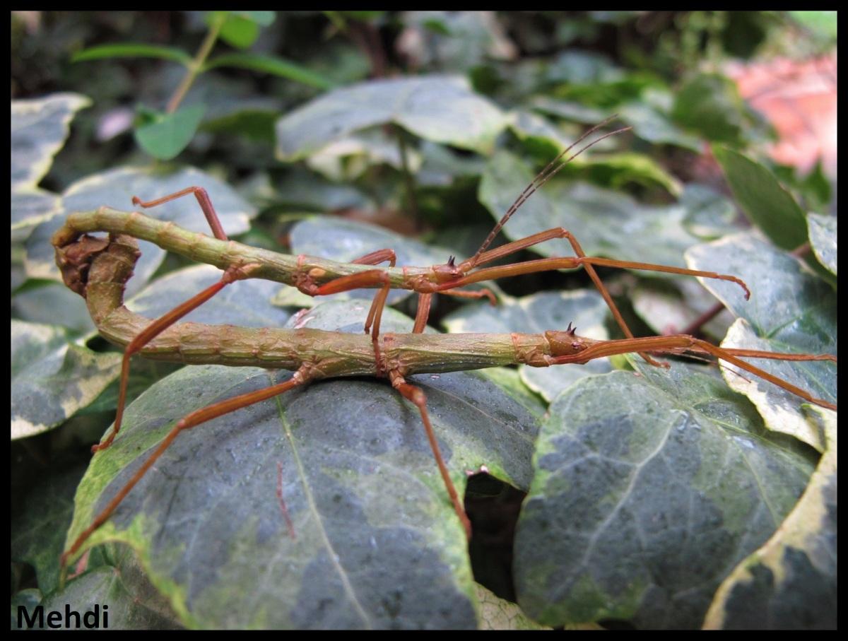 Xylica oedematosa P.S.G. N° 234(Tanzanie)