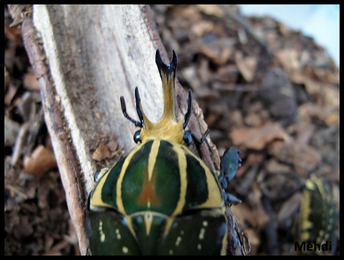 Mecynorhina polyphemus confluens(Congo)