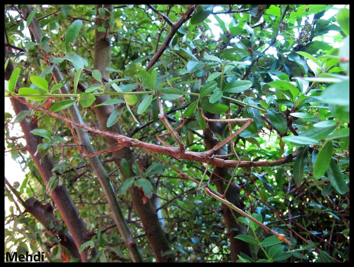 Pharnacia sumatrana «Halimun» P.S.G. N°30(Java)