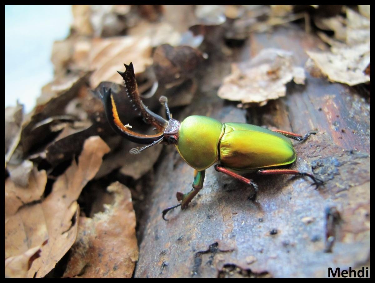 Lamprima adolphinae (Indonésie, Papouasie Nouvelle-Guinée)