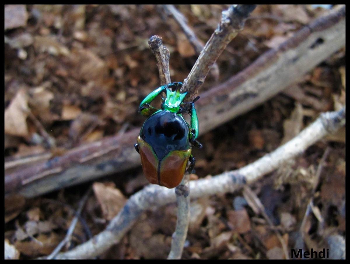 Neptunides polychrous marginipennis(Tanzanie)