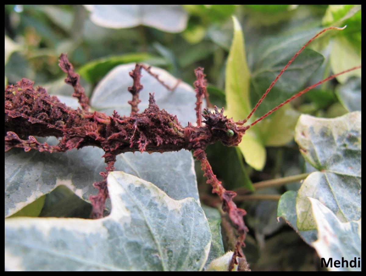 Taraxippus samarae «Siquirres» (CostaRica)